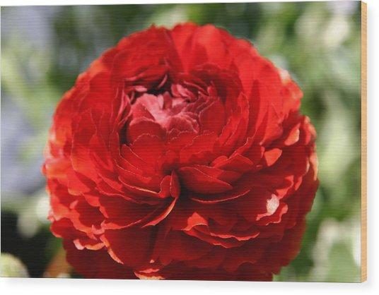 Spring Scarlet Double Begonia Wood Print