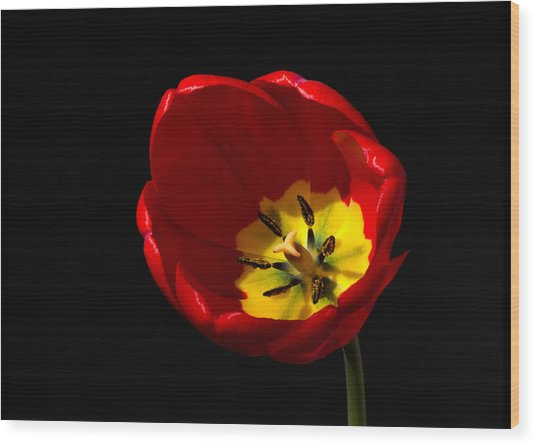 Spring Tulip 2 Wood Print
