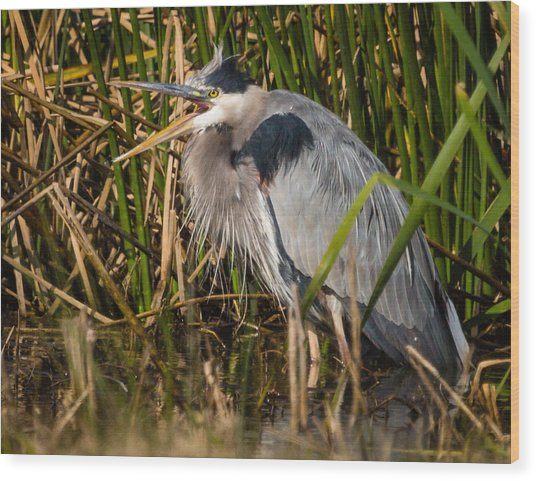 Squaking Blue Heron Wood Print