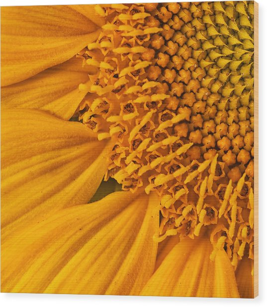 Square Sunflower Wood Print