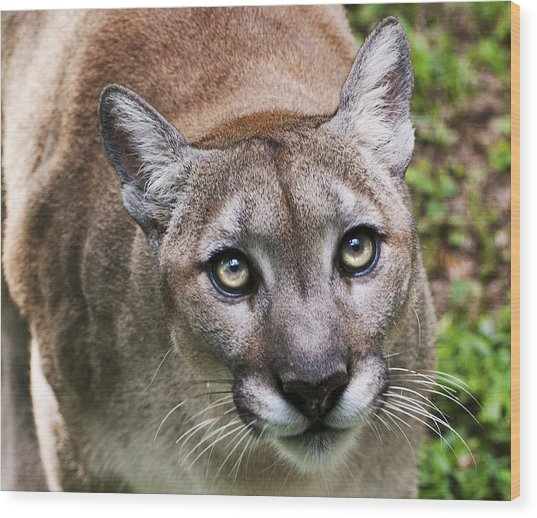 Stalking Cougar Wood Print