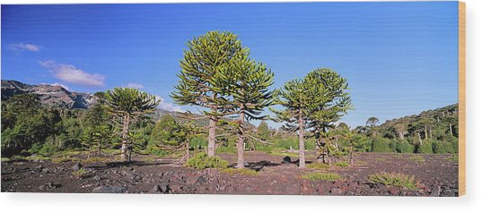 Stand Of Monkey Puzzle Trees (araucaria Wood Print by Martin Zwick