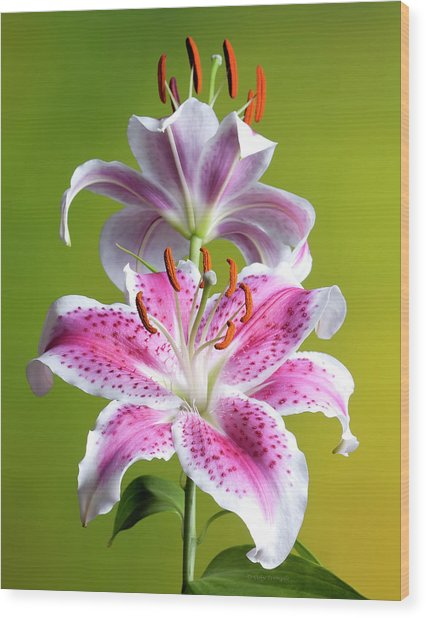 Star Gazer Lily Wood Print