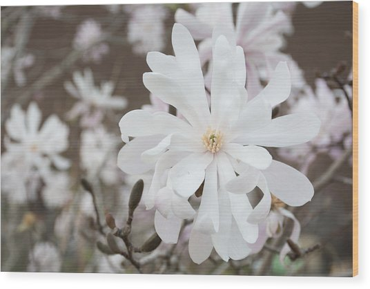 Star Magnolia Soft Wood Print by Priyanka Ravi