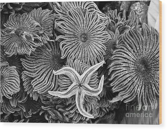 Starfish 3 Wood Print