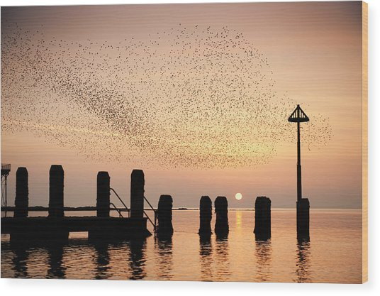 Starlings At Sunset  Aberystwyth Wood Print