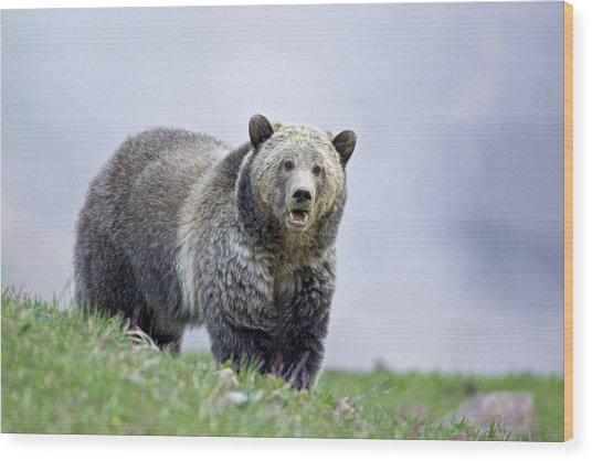 Steamboat Grizzly Wood Print
