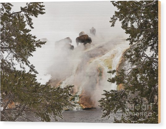 Steamy Bison Wood Print