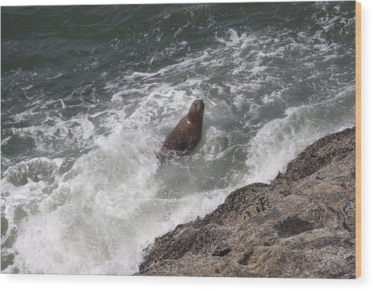 Steller Sea Lion - 0018 Wood Print