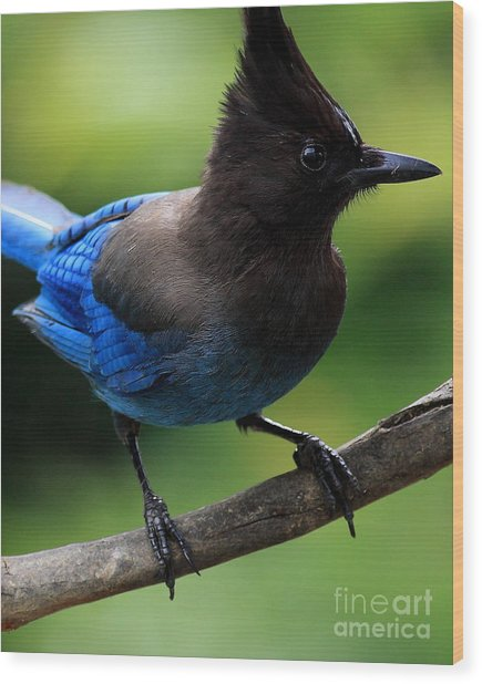 Stellers Jay Wood Print by Wingsdomain Art and Photography
