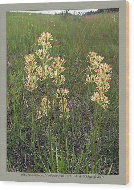 sticky false asphodel - Tofieldia glutinosa - 11JL15-1 Wood Print by Robert G Mears