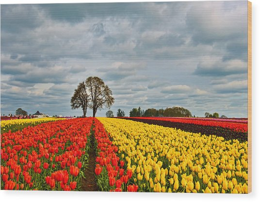 Storm Over Wooden Shoe Tulip Farm Wood Print