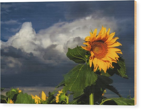 Stormy Sunflower Wood Print