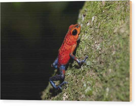 Strawberry Poison Frog Wood Print by Science Photo Library