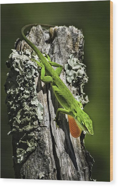 Stressed Anole Wood Print