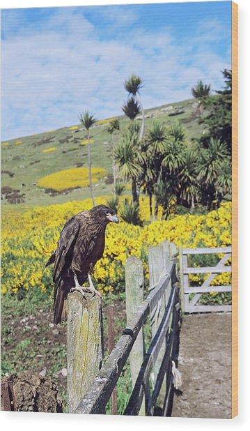 Striated Caracara Or Johnny Rook Wood Print
