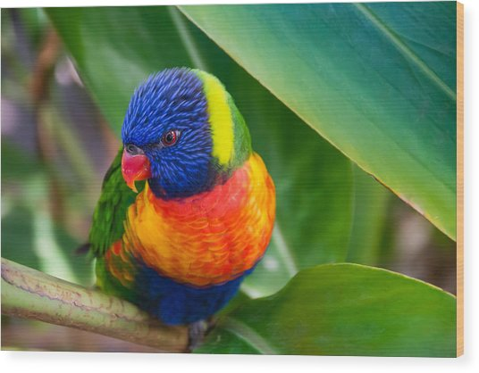 Striking Rainbow Lorakeet Wood Print