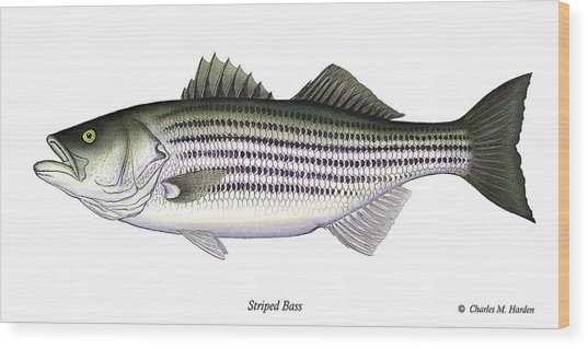 Striped Bass Wood Print