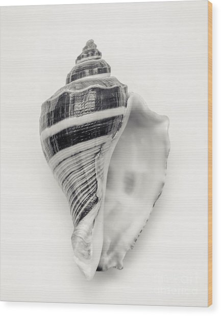Striped Sea Shell Wood Print