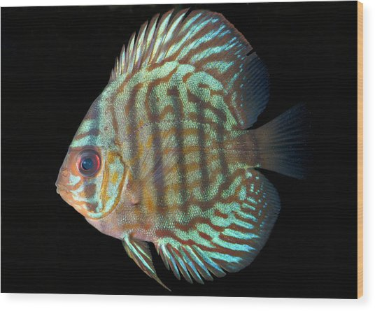 Striped Turquoise Discus Wood Print by Nigel Downer