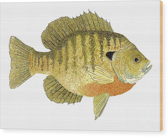 Study Of A Bluegill Sunfish Wood Print