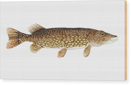 Study Of A Northern Pike Wood Print