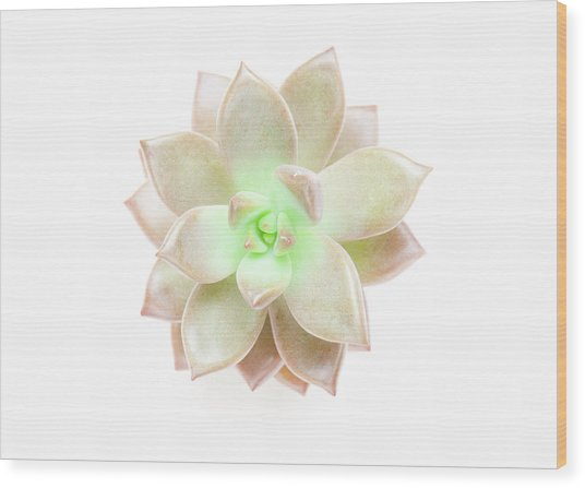 Succulent Plant On White Wood Print by Chris Parsons