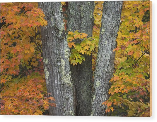 Sugar Maple In Autumn Wood Print