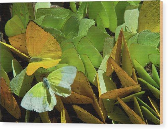 Sulfur Butterflies On Mineral Lick Wood Print
