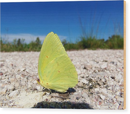 Sulphur Yellow Butterfly Wood Print by Chris Mercer