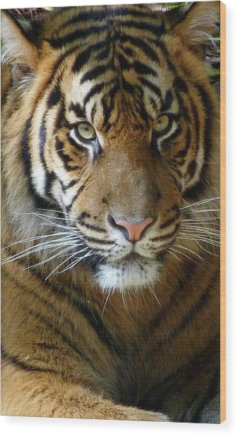 Sumatran Tiger Junior Wood Print