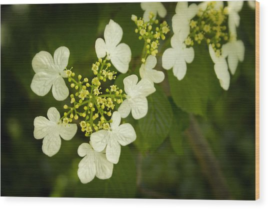 Wood Print featuring the photograph Summer Snowflakes Viburnum  by Ben Shields
