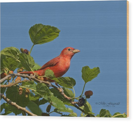 Summer Tanager Wood Print by Mike Fitzgerald