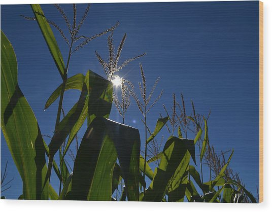 Sun Above The Corn  Wood Print