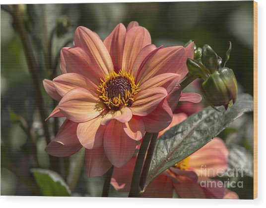 Sunbathing Dahlia Wood Print