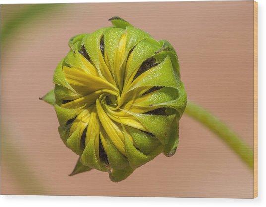 Sunflower Bud Opening Wood Print