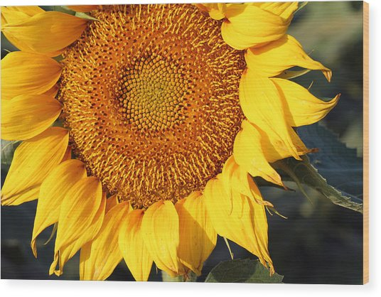 Sunflower - Closeup Wood Print