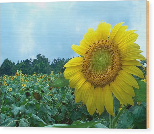Sunflower Field Of Yellow Sunflowers By Jan Marvin Studios  Wood Print