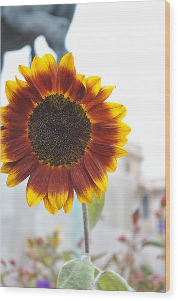 Sunflower In Balboa Park Wood Print by Misty Stach