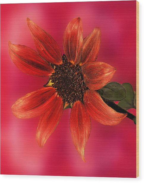 Sunflower In Red Wood Print by Viktor Savchenko