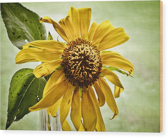Sunflower In Window Wood Print