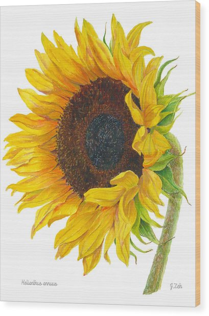 Sunflower - Helianthus Annuus Wood Print