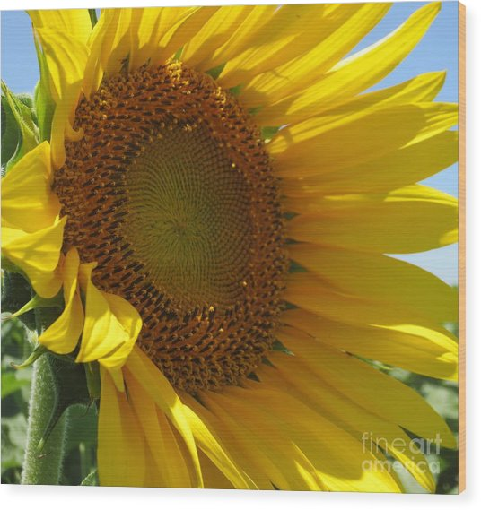Sunflower Wood Print by Lne Kirkes