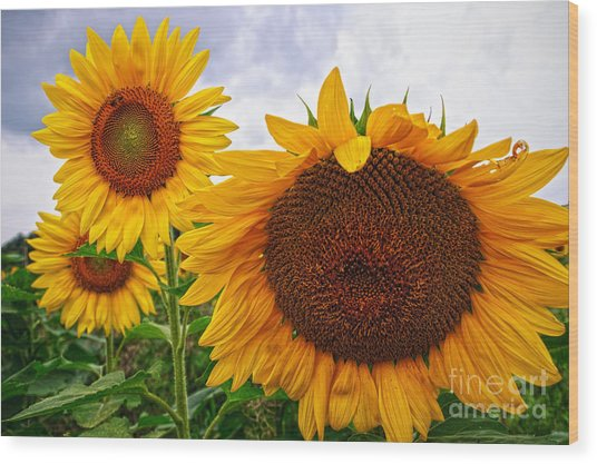 Sunflower Mama And Her Daughters  Wood Print