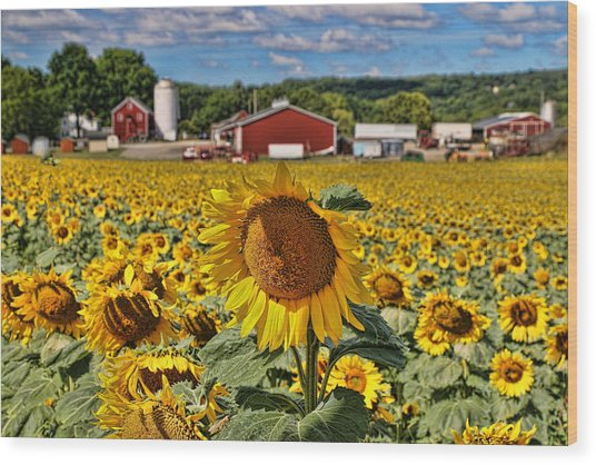 Sunflower Nirvana 21 Wood Print
