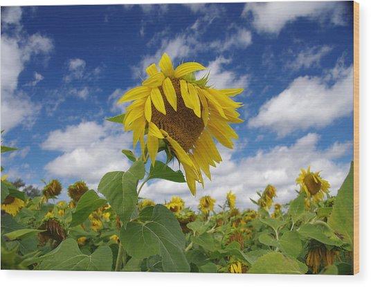 Sunflower Wood Print by Philip Derrico