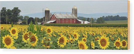 Sunflower Splendor Panorama #1 - Mifflinburg Pa Wood Print