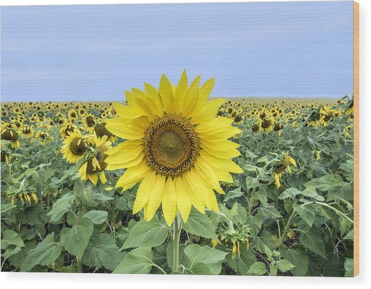 Sunflower Star Of The Show Wood Print