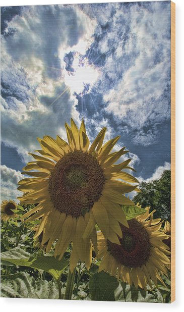 Sunflower Study 1 Wood Print by Mitchell Brown