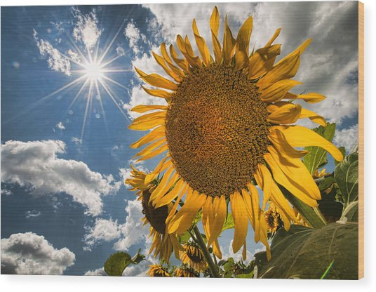 Sunflower Study 2 Wood Print by Mitchell Brown